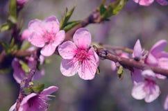 在淡紫色薄雾的桃红色花 免版税库存图片