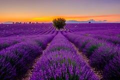 在淡紫色领域的树在日落 免版税库存照片