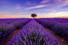 在淡紫色领域的树在日落 免版税库存图片