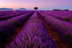 在淡紫色领域的树在日落 库存照片