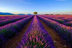 在淡紫色领域的树在日落 免版税图库摄影