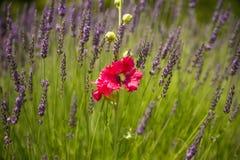 在淡紫色领域的罂粟种子花在普罗旺斯 库存照片