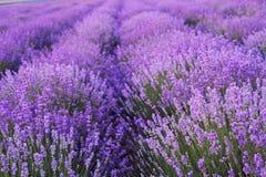 在淡紫色领域的花 免版税库存照片
