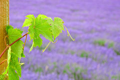在淡紫色领域的葡萄叶子 免版税图库摄影