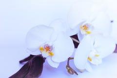 在淡紫色颜色的兰花花 库存照片
