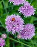 在淡紫色香葱花的一只瓢虫 库存照片