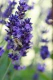在淡紫色flower_03的蜂 库存图片
