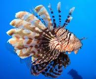 在深水的水下的世界在珊瑚礁和植物在蓝色世界海洋野生生物、鱼、珊瑚和海生物的花植物群 免版税库存照片