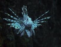 在深海的鱼蓝色Pterois volitans 免版税库存图片