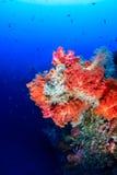 在深珊瑚礁墙壁上的五颜六色的桃红色和橙色软的珊瑚 库存照片