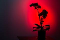 在深红背景的花剪影 免版税库存照片