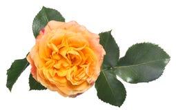 在深绿叶子的金黄玫瑰 免版税库存照片