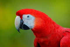 在深绿热带森林,哥斯达黎加里详述鹦鹉猩红色金刚鹦鹉, Ara澳门,红色顶头画象头  从n的野生生物场面 图库摄影