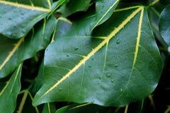 在深绿雨珠与黄色口音树叶子 库存照片