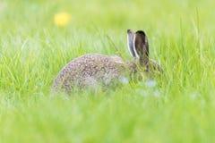 在深草几乎盖的年轻野兔 免版税库存照片