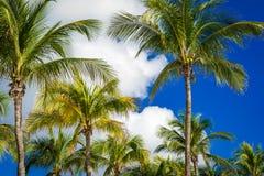 在深蓝天空的绿色可可椰子树与白色云彩 免版税库存照片