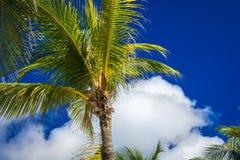 在深蓝天空的绿色可可椰子树与白色云彩 Pho 免版税库存照片