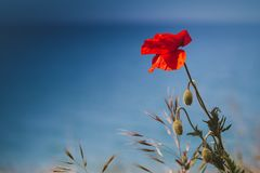 在深蓝的红色鸦片花 库存照片