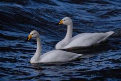 在深蓝色波浪的两美洲天鹅 库存图片