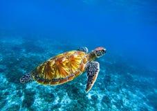 在深蓝色海水的海龟 绿浪乌龟特写镜头 热带珊瑚礁动物区系 免版税库存图片