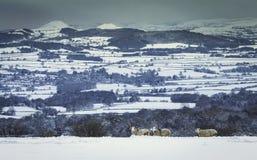 在深雪的三只有角的公羊在风景小山背景 免版税库存图片