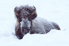 在深雪的北美野牛 库存照片