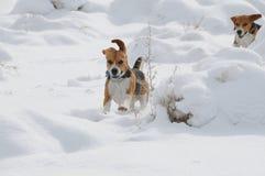在深雪的小猎犬 图库摄影