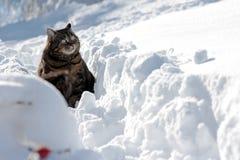 在深雪的猫 免版税库存照片