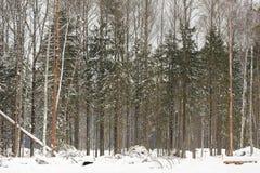 在深雪的年轻杉树在Orlovskoye Polesie国民打标准数 库存图片
