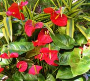 在深绿叶子旁边的热带大红色花 免版税库存图片