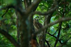 在深绿植被的猫头鹰,掩藏在森林共同的红角鹗, Otus scops,在自然的小猫头鹰,坐gre 免版税库存图片