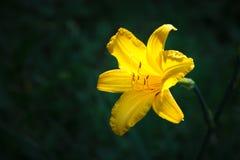 在深绿背景的美丽的黄色百合 库存图片
