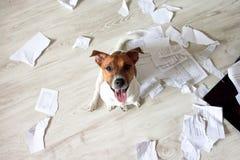 在混乱的淘气狗 坏狗在文件被撕毁的片断坐地板 宠物撕毁了重要文件 坏狗sittin 库存图片