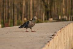 在混凝土墙上的一只鸽子 免版税库存图片