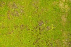 在混凝土墙上的绿藻类 免版税图库摄影