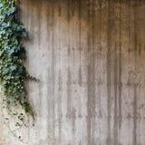 在混凝土墙上的绿色常春藤 图库摄影