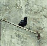在混凝土墙壁上的鸽子  图库摄影