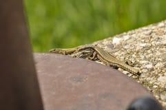 在混凝土的绿蜥蜴在金属柱子旁边 r ?? 库存图片