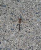 在混凝土的蜻蜓 库存照片