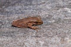 在混凝土路面的四线的雨蛙多聚鸟足状的leucomystax 免版税库存图片