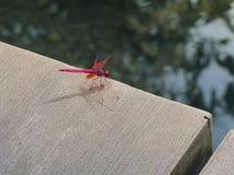 在混凝土路面的红色蜻蜓 库存图片