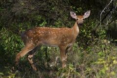 在清早光的一只白被盯梢的鹿小鹿在车轮痕迹期间 免版税库存照片
