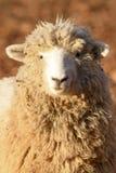 在清早光的一只绵羊 免版税库存图片