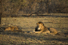 在清早光的公狮子 免版税库存照片