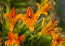 在清早光的橙黄Lillies 免版税库存照片