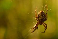 在清早它的网的肉食蜘蛛狩猎 免版税库存图片