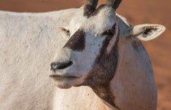 在清早小时,阿拉伯羚羊属 迪拜,阿拉伯联合酋长国 免版税库存图片