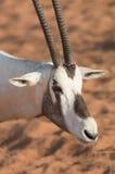 在清早小时,阿拉伯羚羊属 迪拜,阿拉伯联合酋长国 库存图片
