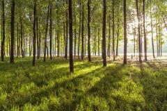 在清早树 免版税库存照片