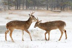 在清早秋天光的车轮痕迹期间一头白被盯梢的鹿顽抗战斗与另一个大型装配架 免版税库存图片